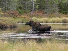 Wildlife Guide Moose