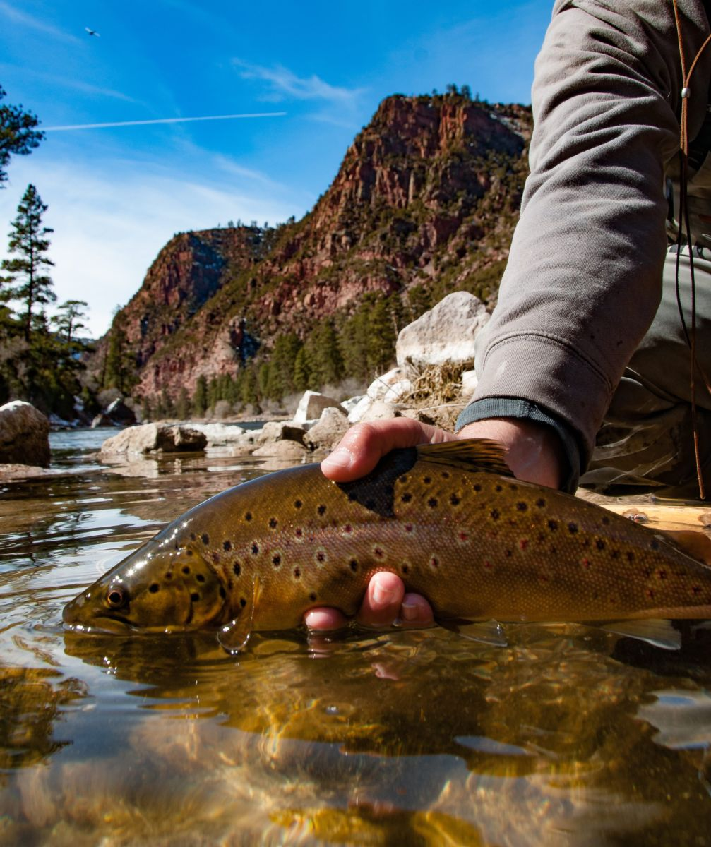 Green River Brown Trout